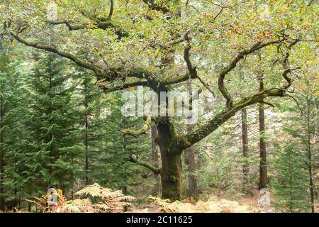Old quercus robur tree in a forest - Stock Photo