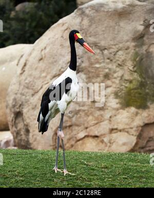 saddle-billed stork (Ephippiorhynchus senegalensis) - Stock Photo