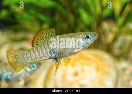 Portrait of livebearer fish (Brachyrhaphis roseni) in aquarium - Stock Photo