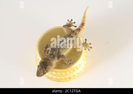 Small Gecko Lizard and Bottle Cap - Stock Photo