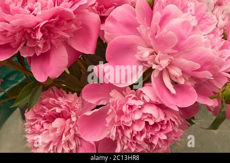 Elegant bouquet of a lot of peonies of pink color close up - Stock Photo