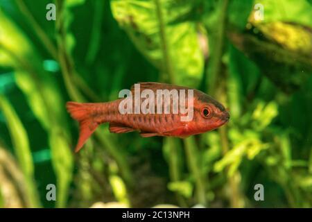 Portrait of livebearer fish (Puntius titteya) in aquarium - Stock Photo