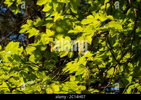 twigs of a sycamore maple tree in springtime with green leaves in sunlight and hanging flowers - Stock Photo