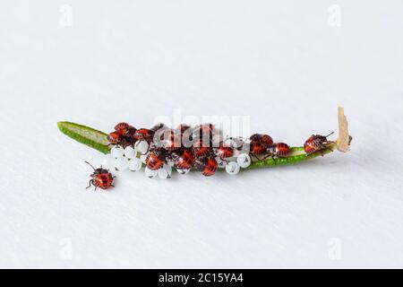 Hatch eggs and young newborn bedbugs (orange, red) (Halyomorpha halys) over a rosemary leaf. East Asian native insect. - Stock Photo