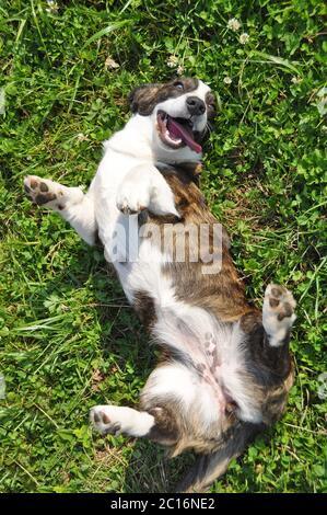 Welsh Cardigan Corgi dog top view on grass