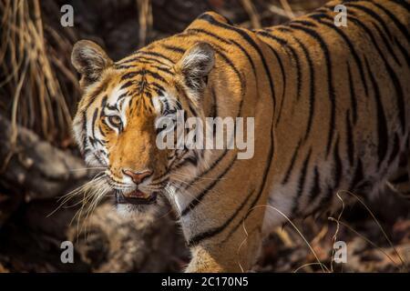 Baras, Royal Bengal Tiger, Panthera tigris, Pench Tiger Reserve, Maharashtra, India