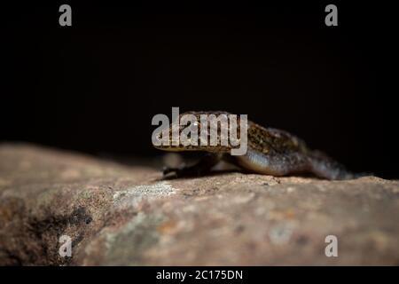 Cnemaspis girii gecko, Kaas, Maharashtra, India - Stock Photo