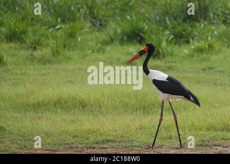 Saddle billed stork saddlebill Ephippiorhynchus senegalensis Ciconiidae - Stock Photo