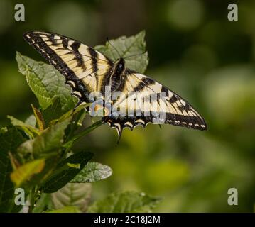 Eastern Tiger Swallowtail butterfly on a wildflower with green background