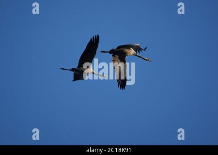 Common crane Grus grus also Eurasian crane in flight northern east Germany