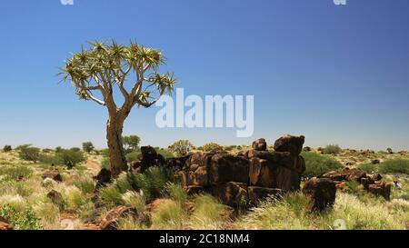 Quiver tree or kokerboom forest, Namibia