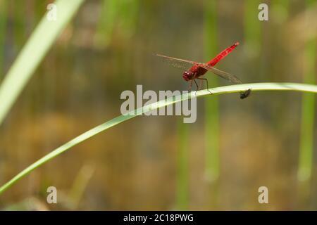 Crocothemis erythraea dragonfly Libellulidae broad scarlet darter - Stock Photo