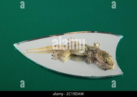 Small Gecko Lizard  and Mirror - Stock Photo