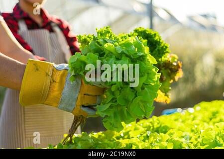 farmer ware agricultural gloves keep vegetable at hydroponic farm and observing growth vegetable meticulously before delivered to the customer. organi
