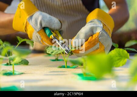 farmer ware agricultural gloves and use  pruning shears at hydroponic farm and observing growth vegetable meticulously before delivered to the custome