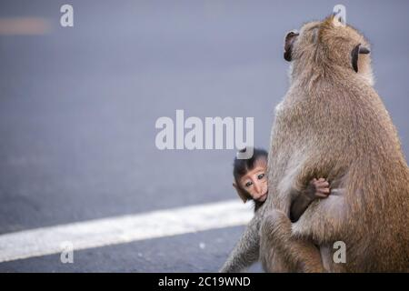 The child of a monkey and his mother. Mother monkey on the road. - Stock Photo