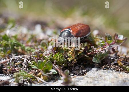 Cockchafer also called Maybug or doodlebug European beetle genus Melolontha family Scarabaeidae
