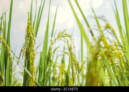 Agriculture green rice field under blue sky at contryside. farm, growth and agriculture concept. - Stock Photo