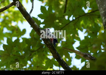 Middle spotted woodpecker Dendrocoptes medius Europe Tree - Stock Photo