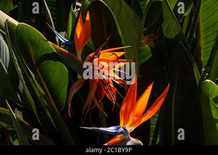 Strelitzia is a genus of five species of perennial plants - Stock Photo