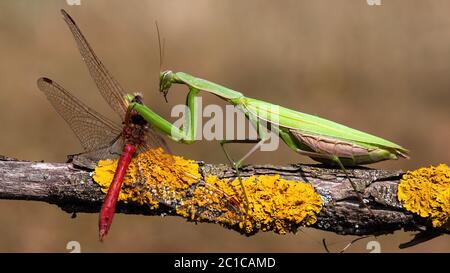 European mantis feeding on red dragonfly in summernature - Stock Photo
