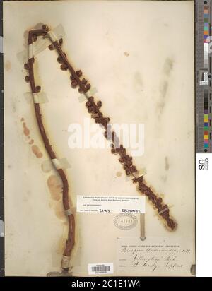 Pterospora andromedea Nutt Pterospora andromedea Nutt. Stock Photo