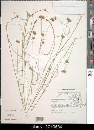 Rhynchospora alba L Vahl Rhynchospora alba L Vahl. - Stock Photo