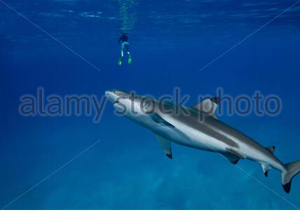 Blacktip shark approaching bather at the surface. Increasingly, people and sharks come into contact as humans spend their leisure time in the - Stock Photo