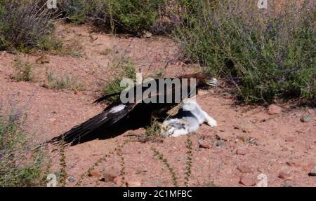 hunting golden eagle aka Berkut and its prey is the hare, Bokonbayevo, Kyrgyzstan - Stock Photo