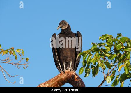 Black Vulture - Coragyps atratus - perched on Gumbo Limbo tree in Everglades National Park, Florida with clear blue background. - Stock Photo