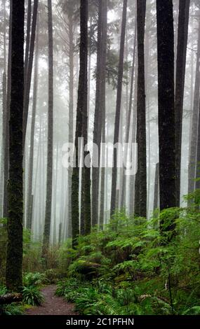 WA16850-00...WASHINGTON - Third Beach trail through second growth forest in Olympic National Park. - Stock Photo