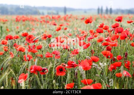 Leipzig, Germany. 16th June, 2020. Countless poppies bloom in a field with barley on the outskirts of Leipzig. Credit: Jan Woitas/dpa-Zentralbild/dpa/Alamy Live News - Stock Photo