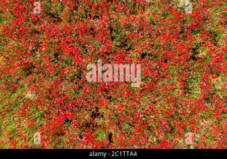Leipzig, Germany. 16th June, 2020. Countless poppies bloom in a field on the outskirts of Leipzig. (Aerial photo with drone) Credit: Jan Woitas/dpa-Zentralbild/dpa/Alamy Live News - Stock Photo