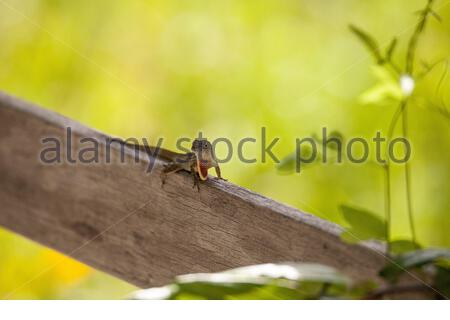 Cuban brown anole, also called Anolis sagrei, perches on a fence in a territorial display in swamp of Naples, Florida. - Stock Photo