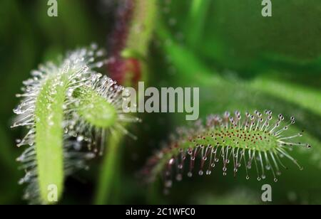 The sundew catches insects with its sticky droplets. The sundew belongs to the carnivores.