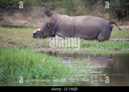 Brutally killed white rhino by poachers with horn and ear removed in Kruger Park South Africa - Stock Photo