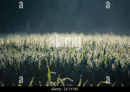 Grain field, barley covered with dew in the morning sun. Growing corn on a blurred background. - Stock Photo