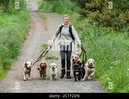 Professional dog waker exercising multiple dogs along a country lane, West Lothian, Scotland