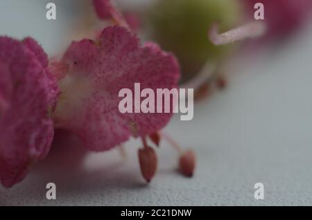 Red flowering Horsechestnut close up - Stock Photo