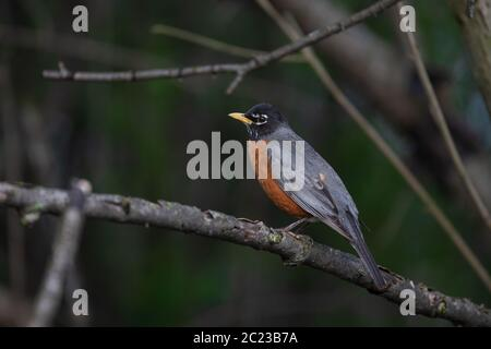 An American robin perched on a branch. The American robin is the state bird of Michigan.