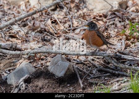 Bird on Branch Near Ground American Robin