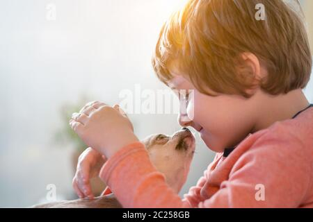 Chihuahua dog licks little laughing child's face close up. Portrait of a happy caucasian kid boy hugging a puppy at cozy home on sofa and play - Stock Photo