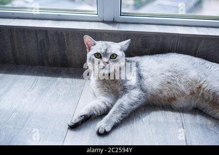A big gray fluffy cat lies on the floor. The concept of pets.