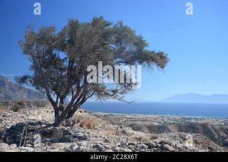 Tree at Antimachia on Kos