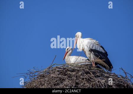 White Stork Pair (Ciconia ciconia) - Stock Photo