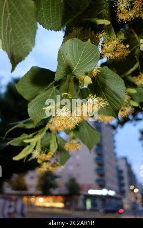 Leipzig, Germany. 16th June, 2020. Flowers of the large-leaved linden (Tilia platyphyllos) in a green area. Credit: Sebastian Willnow/dpa-Zentralbild/ZB/dpa/Alamy Live News - Stock Photo