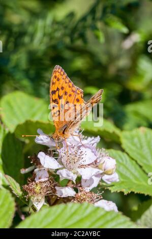 High Brown Fritillary butterfly nectaring on bramble flower - Stock Photo