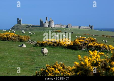 View to ruins of medieval Dunstanburgh Castle with sheep and yellow gorse in meadow, Alnwick, Northumberland, England, United Kingdom, Europe