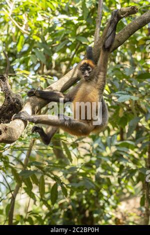 Central American Spider Monkey, Ateles geoffroyi, Cebidae, Costa Rica, Centroamerica - Stock Photo