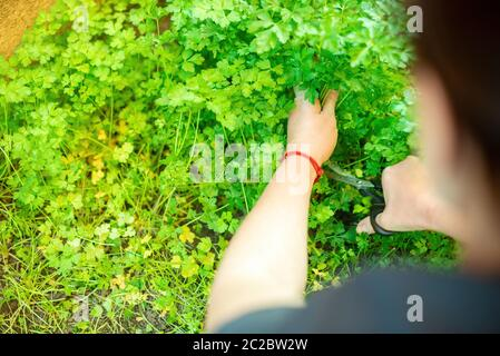 Top view of anonymous person cutting fresh parsley with scissors while working in garden on sunny day - Stock Photo